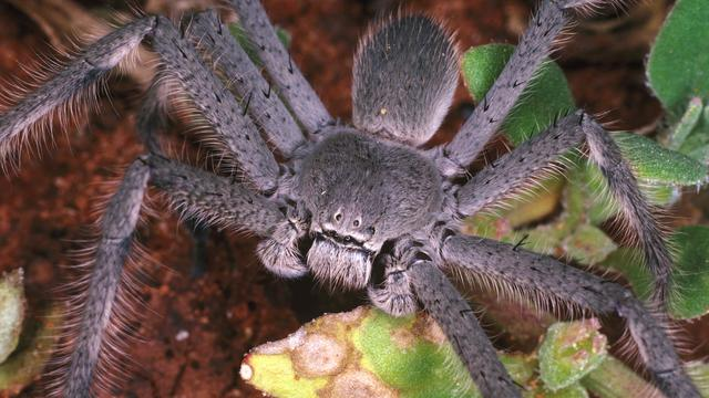 Man wilde 22 vogelspinnen uit Paraguay Duitsland in smokkelen