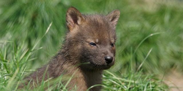 Zeldzame rode honden geboren in zorgdierentuin Volkel