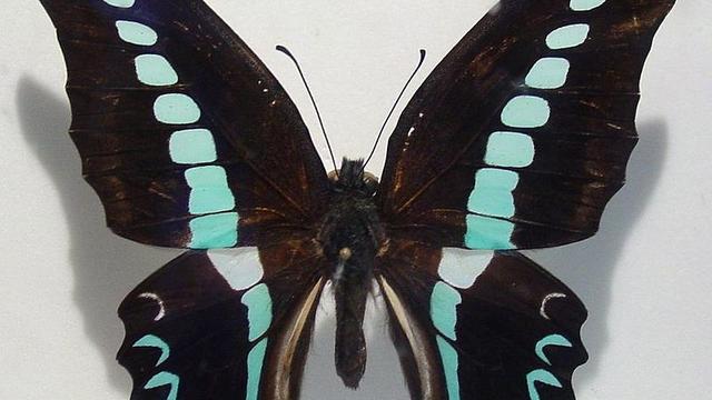 Wetenschappers veranderen kleuren op vleugels van vlinders