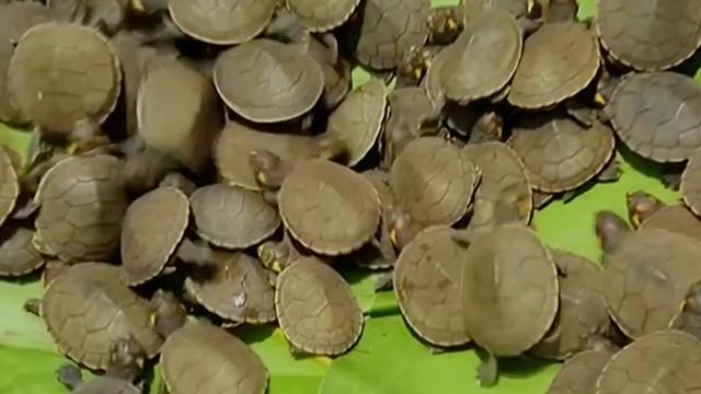 Duizenden schildpadden uitgezet in Peruaanse Amazone-regio