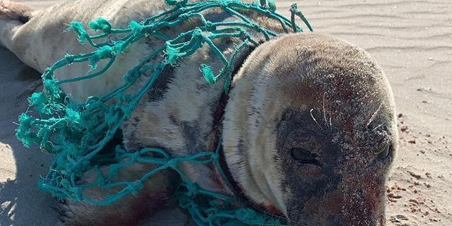 Goed nieuws: Tandartsen weer aan de slag   Zeehond uit net bevrijd