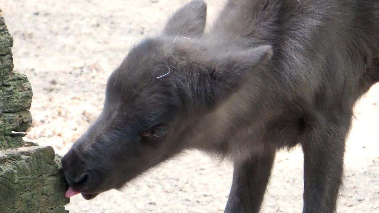 Pageboren rendiertjes verkennen verblijf Ouwehands Dierenpark