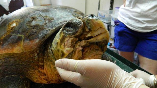 Schildpad krijgt 3D-geprinte onderkaak