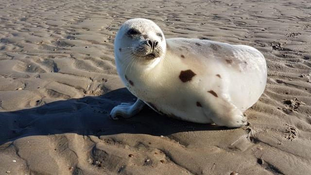 Zeldzame zeehond die aanspoelde in Zeeland teruggezet in Noordzee
