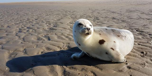 Zeehond uit noordpoolgebied gevonden op strand Burgh-Haamstede