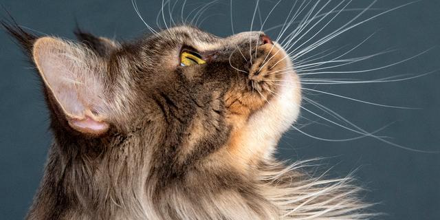 'Eén op de vijf katten raakt besmet bij coronageval binnen huishouden'