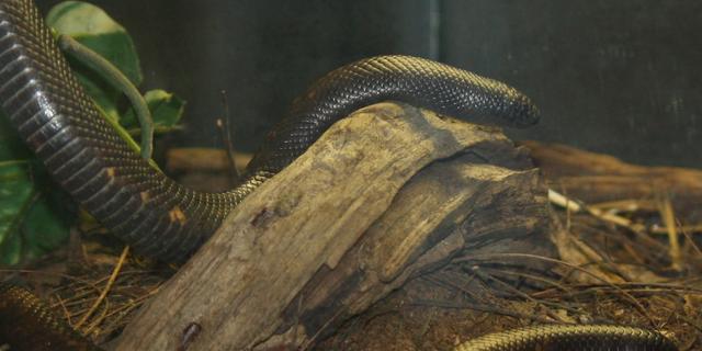 Aardpython heeft dikste huid van alle slangen
