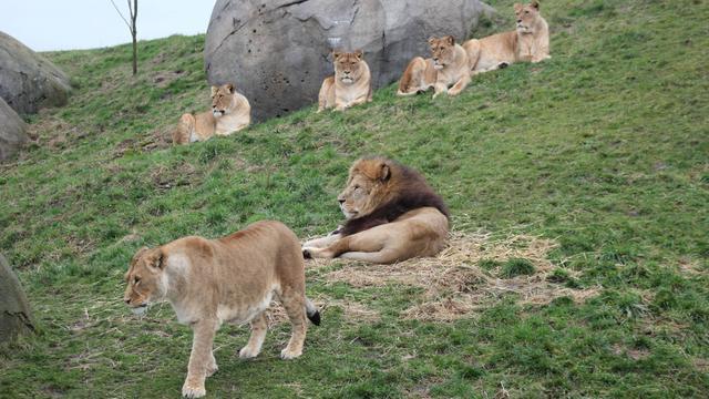 Leeuwenwelpen geboren in Wildlands Adventure Zoo Emmen