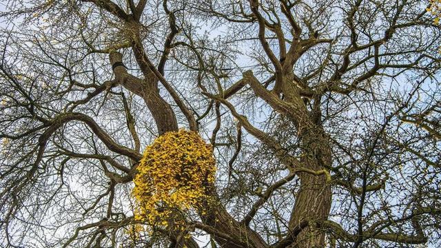 Stinkende notenbomen FC Dondersstraat blijven staan