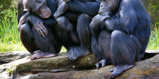 Operatie moet gesteriliseerde chimpansee Burgers' Zoo weer vruchtbaar maken
