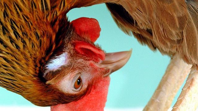 'Genetisch aangepaste kippen leggen eieren met kankermedicijn'