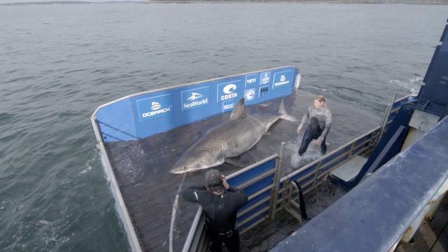 Vijftigjarige witte haai gevangen voor onderzoek in Canada