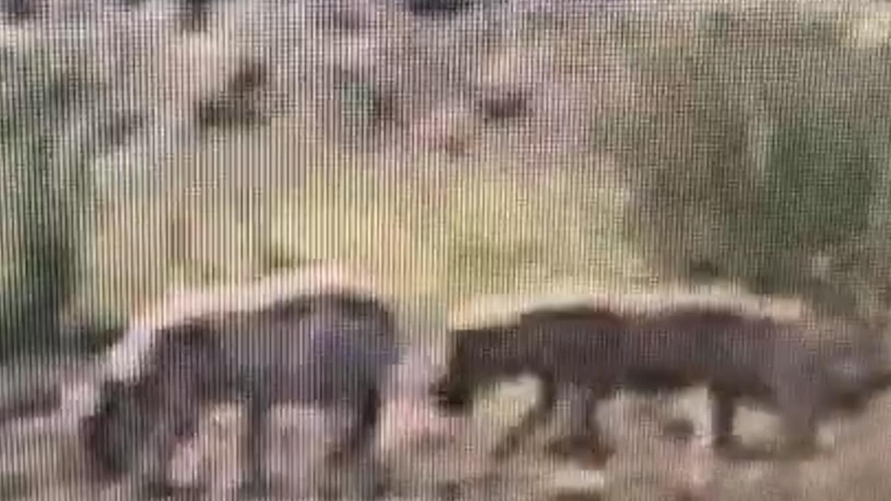 Drie jonge wolven gespot op de Veluwe