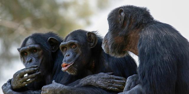Twee chimpansees doodgeschoten na ontsnapping in DierenPark Amersfoort