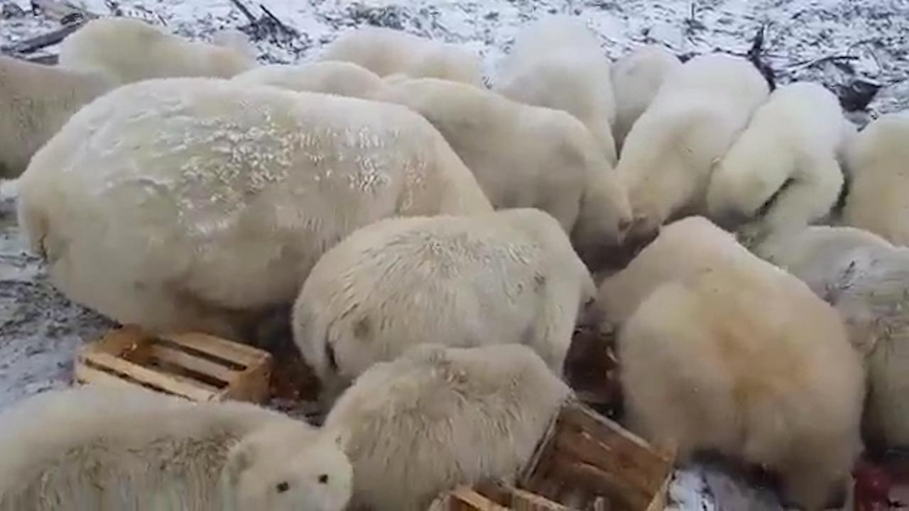 Tientallen ijsberen teisteren nederzetting op Nova Zembla