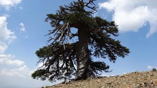 'Oudste boom van Europa staat in Griekenland'