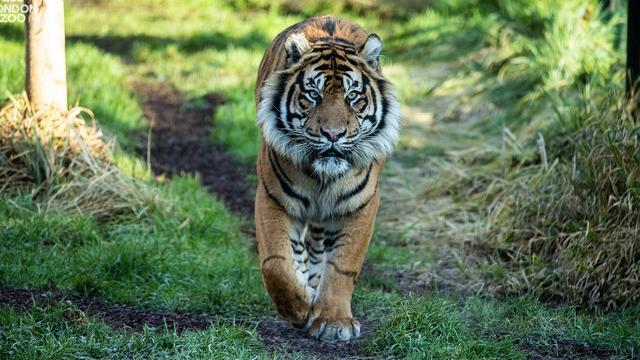 Zeldzame tijger doodt partner waarmee hij zich moest voortplanten