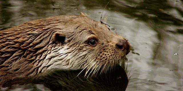 Otter na vijftig jaar weer terug in Naardermeer