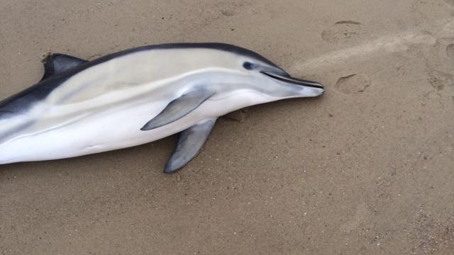 Tweede dolfijn aangespoeld aan Zeeuwse kust, hulp komt te laat