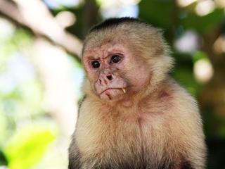 Apen inspireerden mensen mogelijk tot gebruik gereedschap