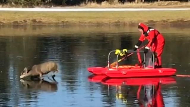Brandweer redt hert van bevroren meer in Oregon