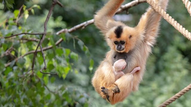 Goudwanggibbon geboren in dierentuin ARTIS