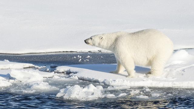 Alle populaties ijsberen worden bedreigd door smeltend ijs