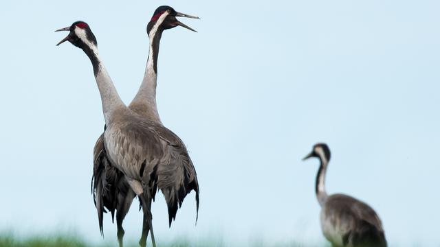 Kraanvogelkolonie in Fochteloërveen beleeft dramatisch broedseizoen