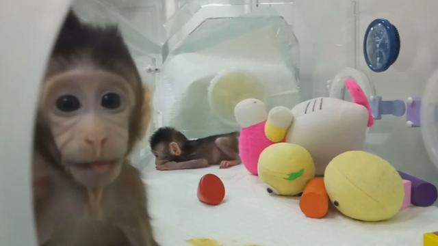 Wetenschappers klonen voor het eerst apen