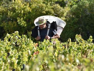 Totale oppervlak wijngaarden in Nederland licht gegroeid in 2017