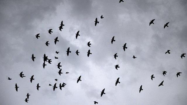 Vogelbescherming bang voor meer botsingen bij uitbreiding Lelystad Airport