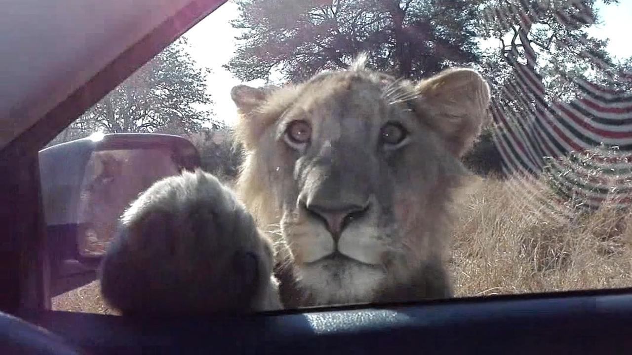 Leeuw inspecteert auto van bezoekers aan Krugerpark in Zuid-Afrika