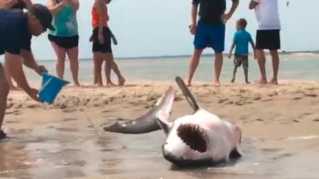 Badgasten redden witte haai bij Amerikaanse Chatham