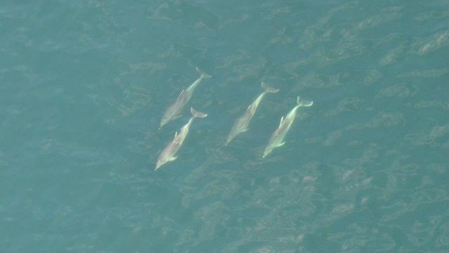 Ruim twintig dolfijnen gezien voor Belgische kust