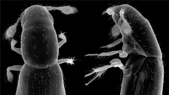 Kleinste insect ter wereld gemeten