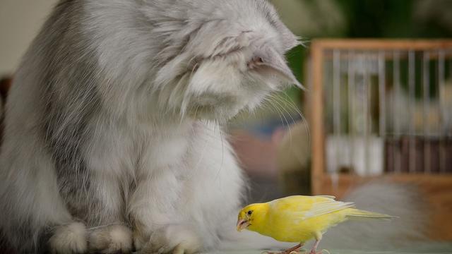 Australische katten doden per dag miljoen vogels