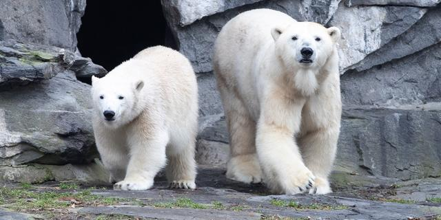 Dierentuin Berlijn geschokt nadat populaire ijsbeer product van incest blijkt