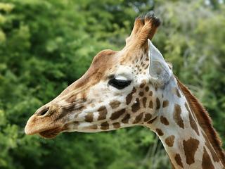 In het wild zijn nog maar 750 dieren over