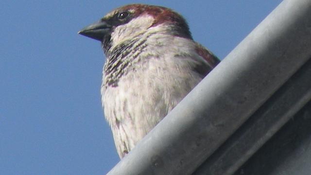 Steden Brabant maken woonruimtes voor stadsvogels en vleermuizen