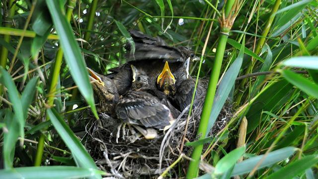 'Eerste vogelnesten ontstonden op Australische continent'