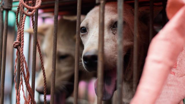 Chinese vrouw voorkomt slachting duizenden honden
