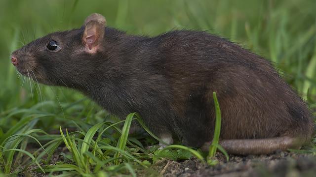 Steeds meer ratten gesignaleerd in Amsterdam