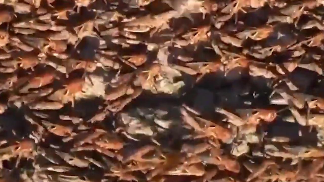 Invasie van sprinkhanen op Italiaans eiland Sardinië