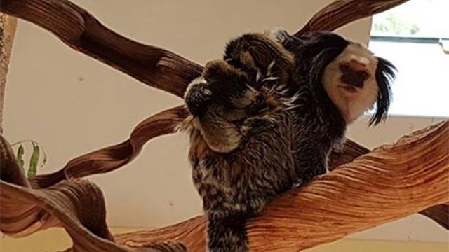 Drieling dwergapen geboren in vogelpark Avifauna