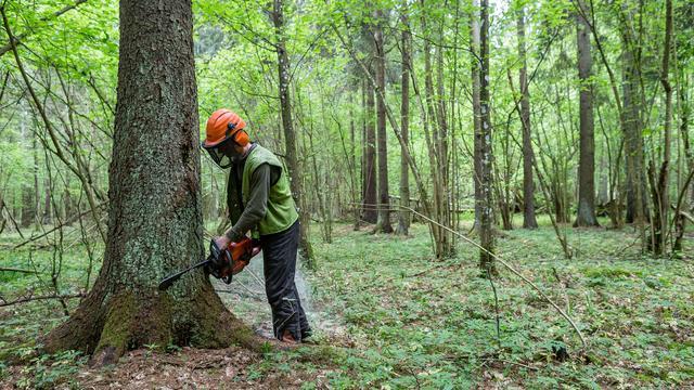 Advocaat-generaal Europees Hof wil dat Polen stopt met kappen oerbos