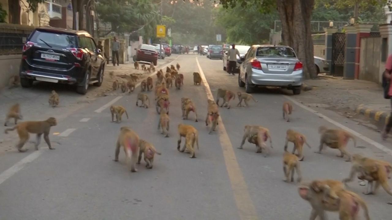 Duizenden apen terroriseren Indiase hoofdstad
