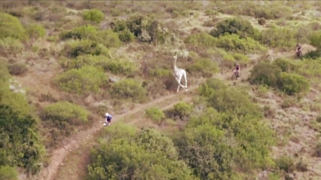 Mountainbikers achtervolgd door giraffes