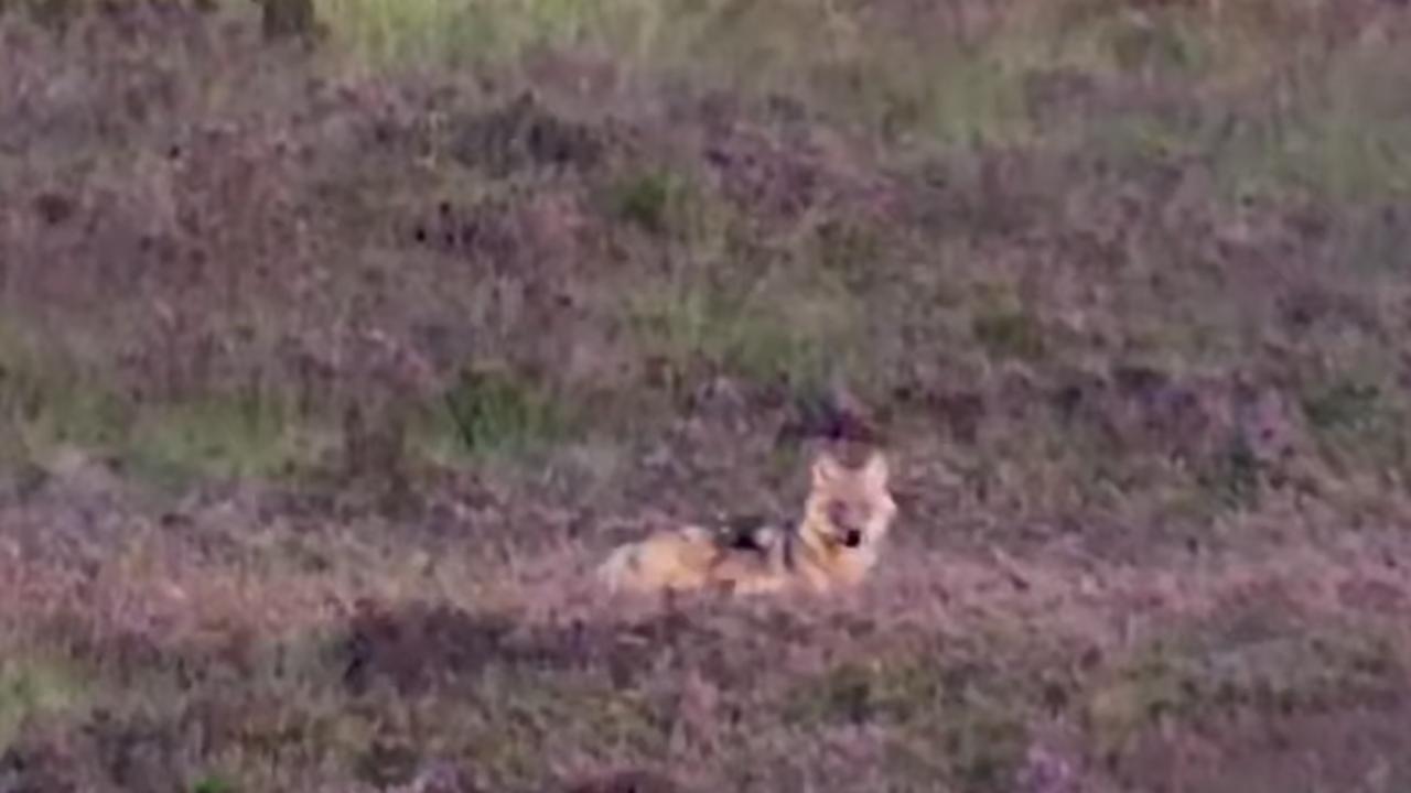 Eerste goede beelden van jonge wolven op de Veluwe