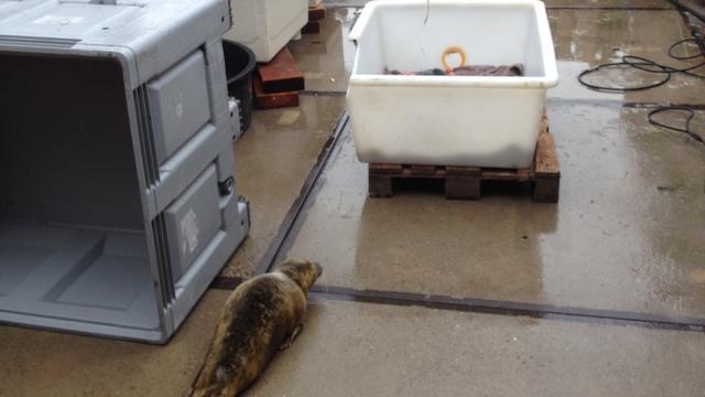 NVWA neemt zeehonden op Terschelling in beslag