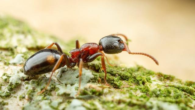 Nieuwe mierensoort in Nederland ontdekt: de viervlekmier